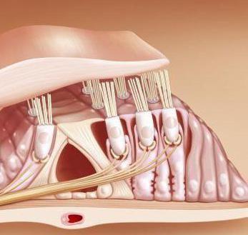 organe de auz și echilibru