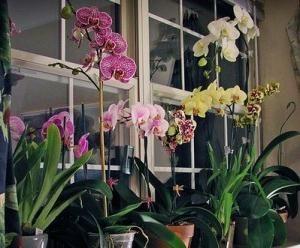 cum să aperi o orhidee