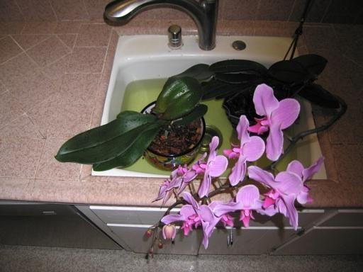 orhidee de îngrijire