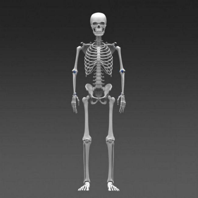 baza scheletului