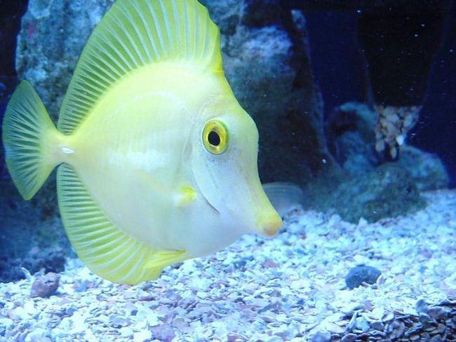 De ce sunt peștele tăcut și este într-adevăr așa?