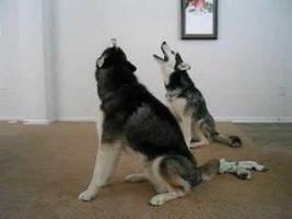 De ce urlă câinii? Ce vor să ne spună?