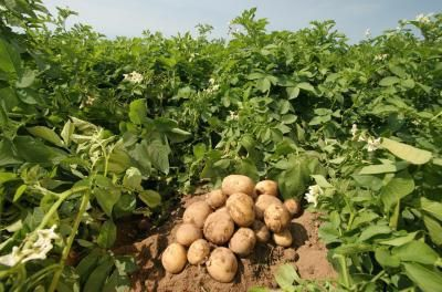 cartofi varietăți karatop descriere fotografii