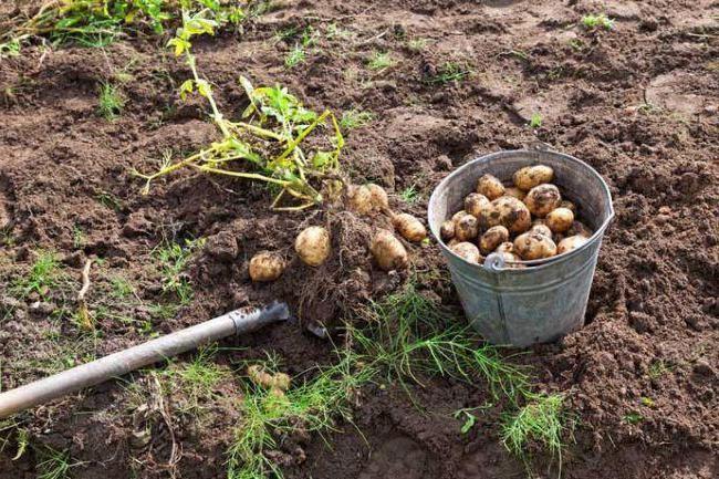 cartofi de karatopa Descrierea varietății