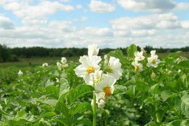 descrierea soiului de cartofi karatopa