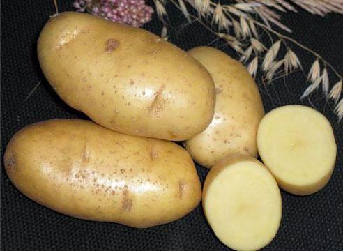 karatopa cartofi descriere varietate fotografie