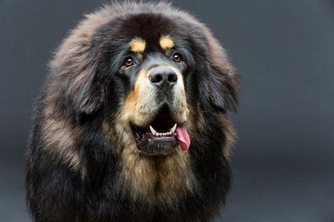 Cea mai scumpă rasă de câini: un sondaj de rase, descriere și caracteristici