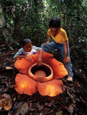 Cea mai mare floare din lume: vei fi surprins!