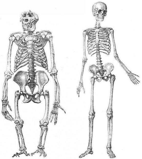 scheletul membrelor inferioare ale omului