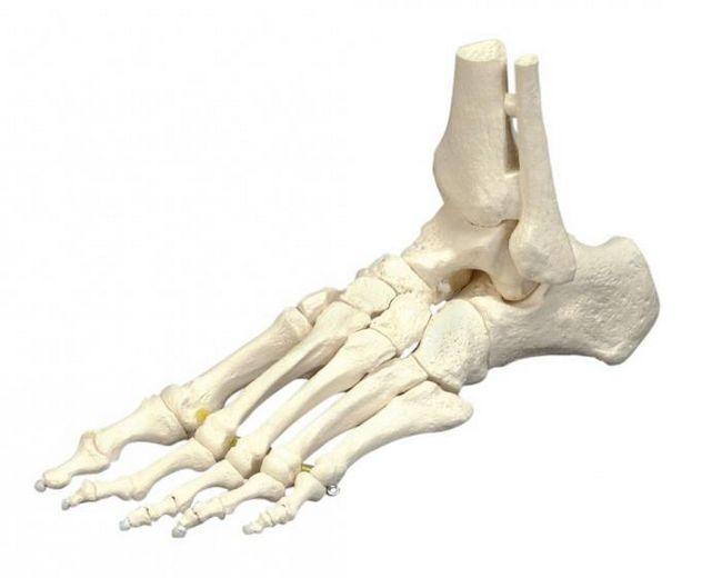 scheletul membrelor inferioare libere