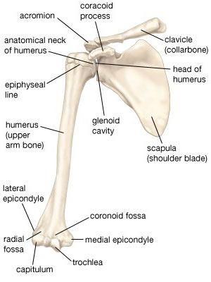 structura scheletului brațului