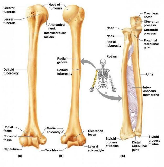 scheletul mâinii stângi