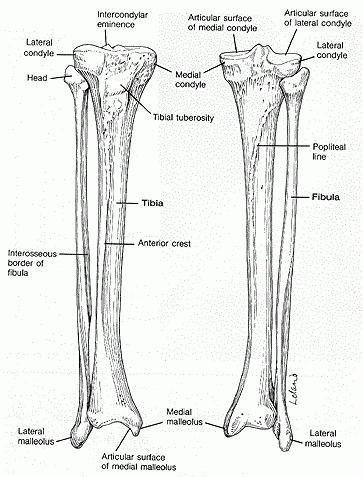 structura scheletului uman