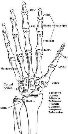 scheletul mâinii unei persoane