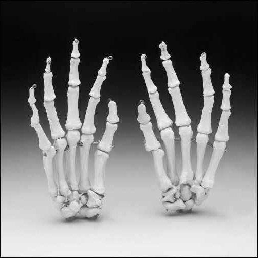 scheletul mâinii