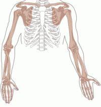 scheletul extremităților superioare și inferioare