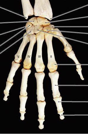 scheletul membrelor superioare