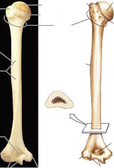 funcțiile scheletului membrelor superioare