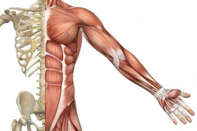 funcțiile mușchilor scheletici