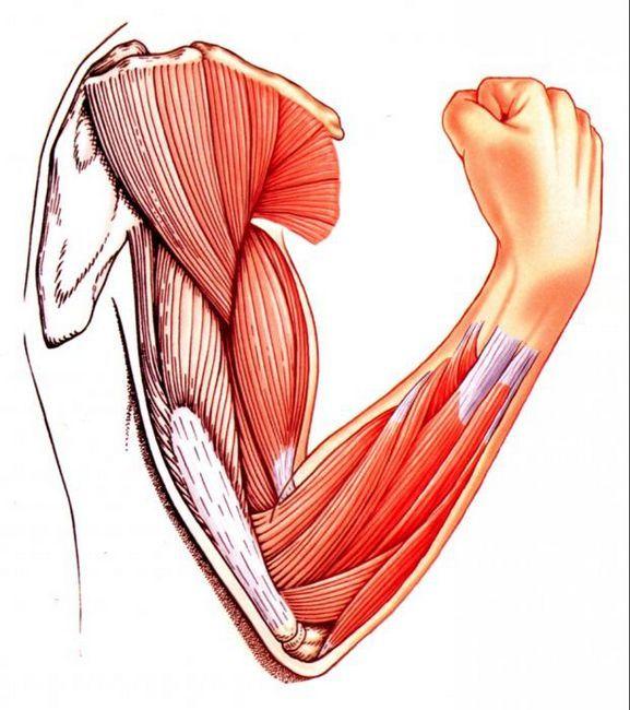 fotografii musculare