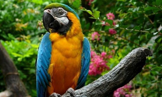 Cât de mulți ani trăiește acasă papagalul?