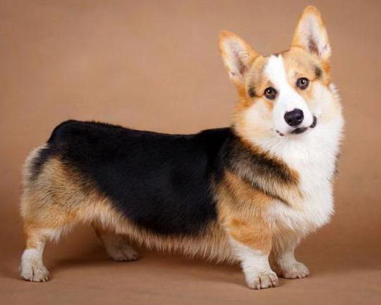 собака английской королевы