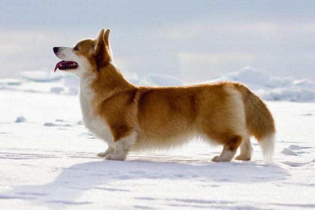какая порода собаки у английской королевы