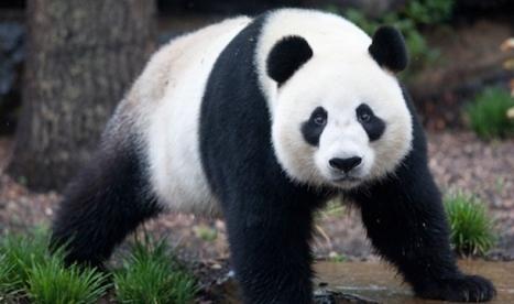 Vor rămâne pădurile de bambus unde trăiesc panda?
