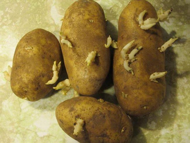 Descrierea cartofilor Aurora a gradului