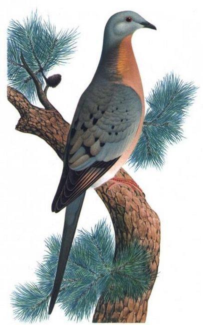 Porumbelul rătăcitor este un exemplu de scurtă percepție umană
