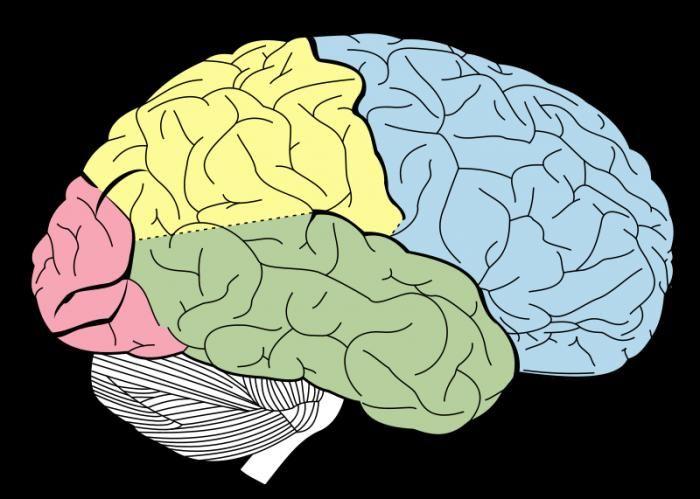 anatomia creierului uman