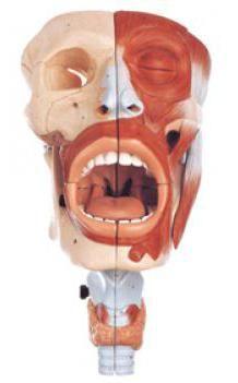 structura gâtului la copil