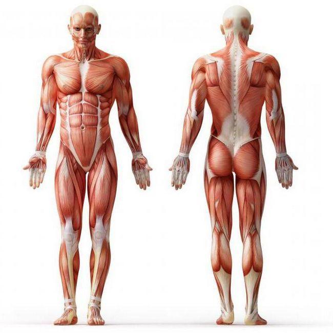 structura și clasificarea mușchilor