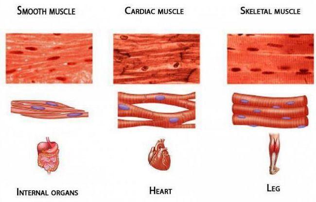 clasificarea mușchilor umane