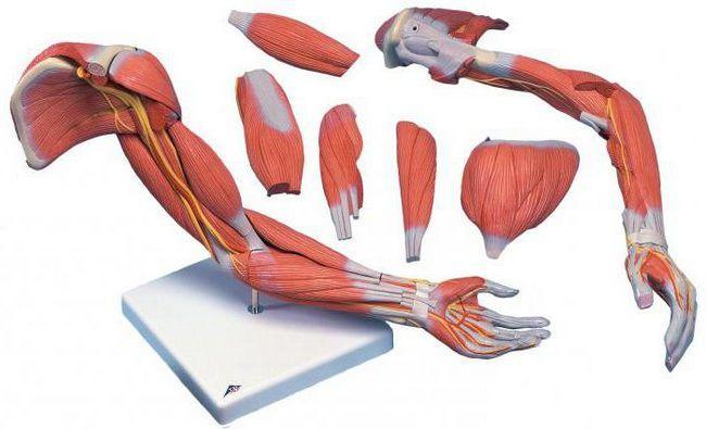 clasificarea mușchilor după funcție