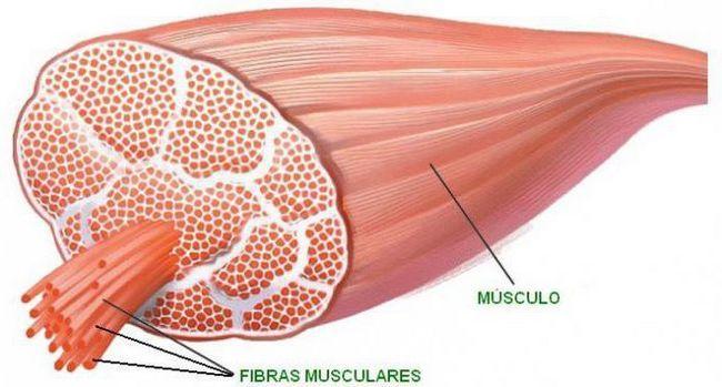 clasificarea mușchilor