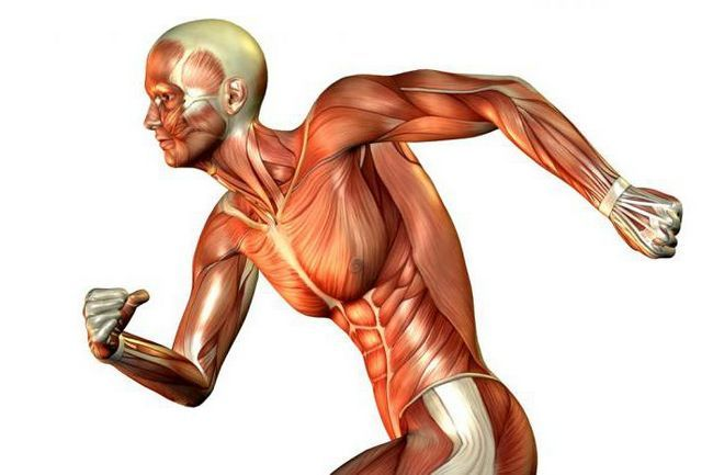 clasificarea mușchilor scheletici
