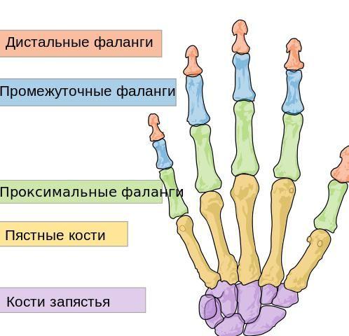 Structura periei a articulațiilor musculare ale mâinii