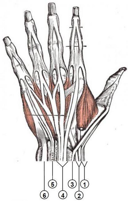 brațul structurii brațelor musculare