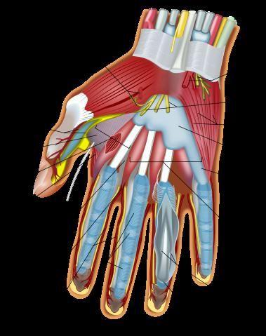 structura mâinii și a încheieturii mâinii