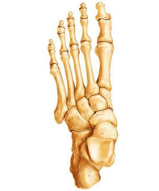 tipuri de oase ale scheletului