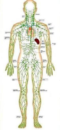 circulația sanguină a fluidului tisular și a limfei