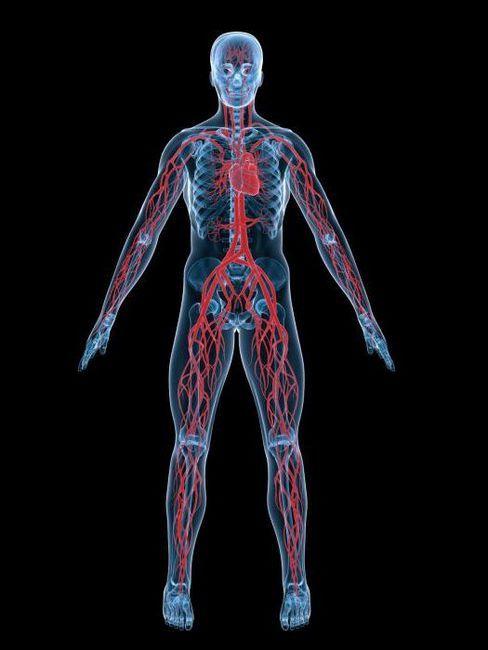Pentru prima dată a apărut sistemul circulator