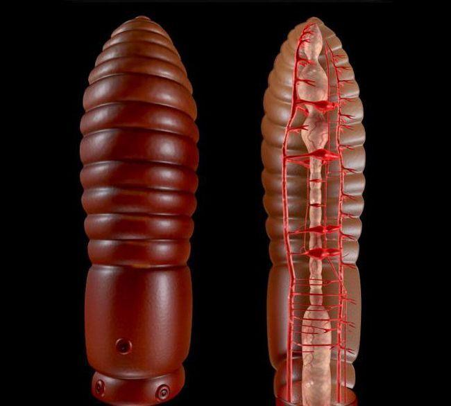 în procesul de evoluție, apare primul sistem circulator