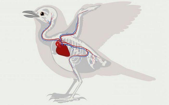 Sistemul circulator de organe a apărut pentru prima oară în