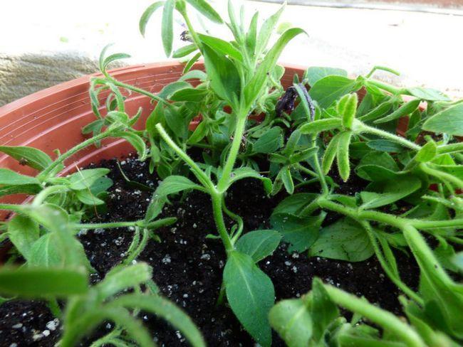 Îngrășăminte pentru petunia: comentarii despre producători și sfaturi de utilizare