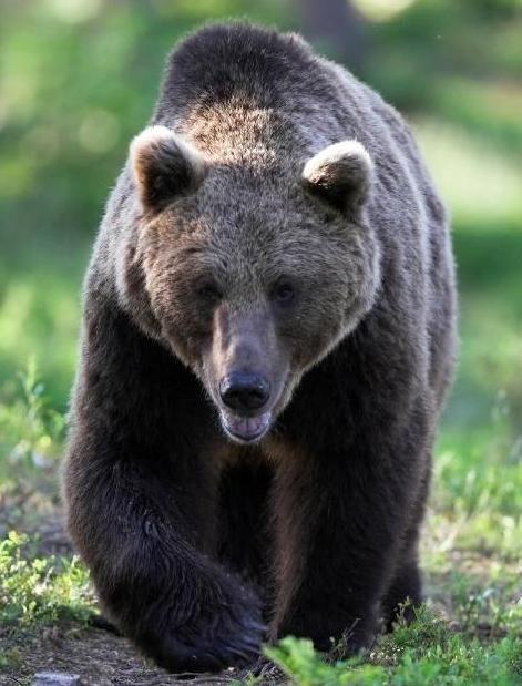 Vânătoare interesantă pentru un urs