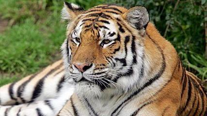 Eterna rătăcitoare sau Unde trăiește un tigru?