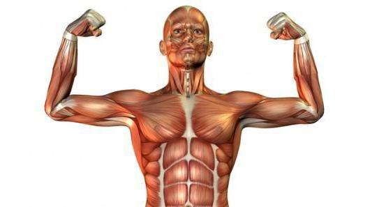 tipuri de imagini de țesut muscular