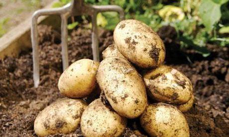cartofi fel de vineta descriere